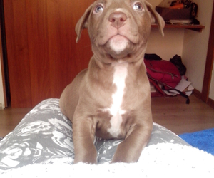 dog pitbull love image