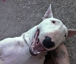 bullterrier, foot, and puppy image