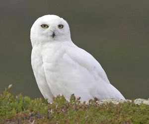 owl and snowy owl image
