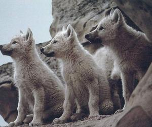baby, beautiful, and wolf image