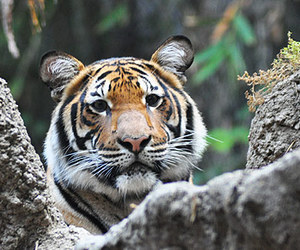 animal, big cats, and cats image