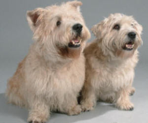 dog, cute, and glen of imaal terrier image