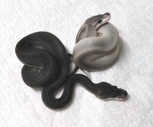 snake, black, and grunge image