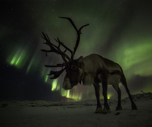 reindeer and top20aurora image