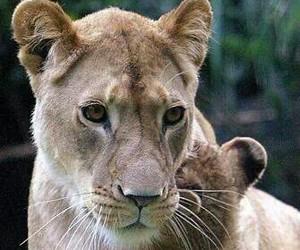 lion image
