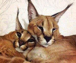 cat, animal, and lynx image