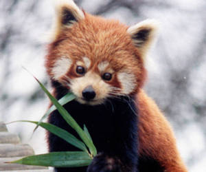 Red panda, animal, and panda image