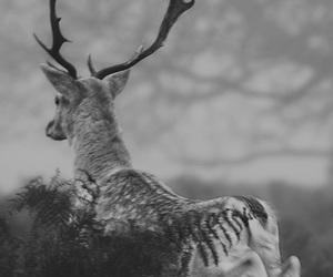 animal, deer, and black and white image