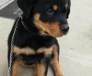 dog, rottweiler, and rottie image