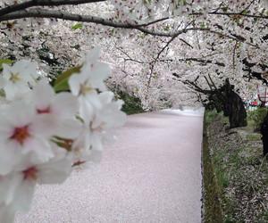 japan, river, and sakura image