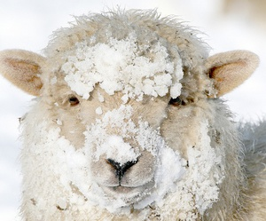cold, lamb, and sheep image