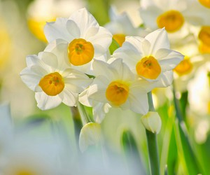 flower and narcissus image