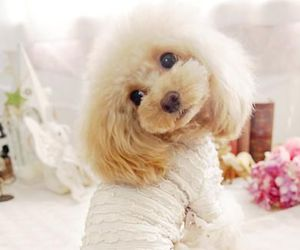 blonde, pastel, and toy poodle image