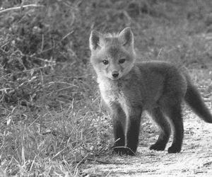 baby, black and white, and fox image