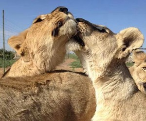 kiss, lion, and cute image