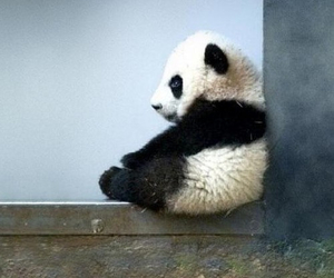animal, so cute, and panda image