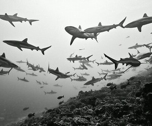 shark, black and white, and sea image