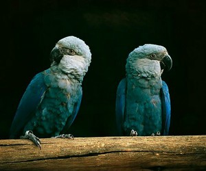 spix's macaw, extinct in the wild, and trade and habitat loss image