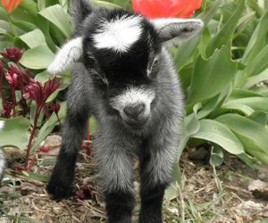 cabra, goat, and cute image