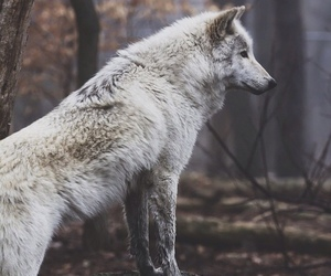 wolf, animal, and forest image