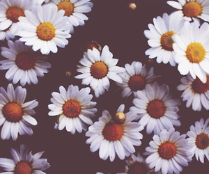 beautiful, daisies, and flower image