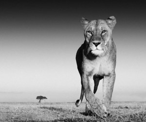 animal, lion, and nature image