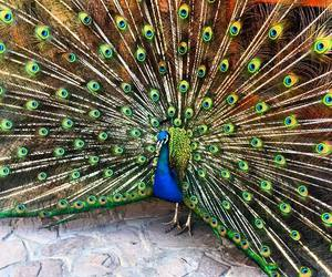adorable, animals, and peacock image