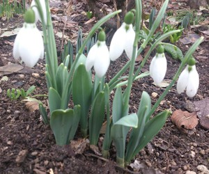 winter, flower, and snowdrop image
