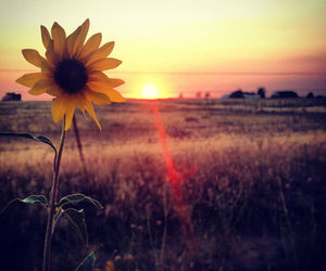 flowers, sunflower, and sunset image