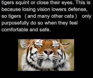 fact, cute, and tigers image