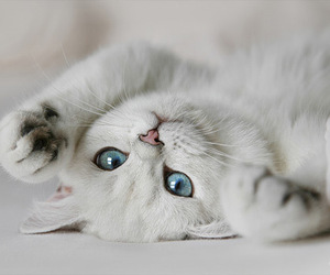 blue, eyes, and kitty image