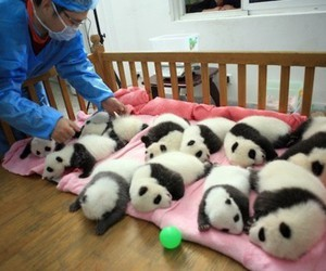 panda, baby, and animal image