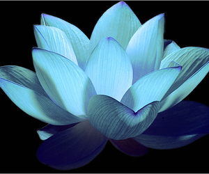 blue, flowers, and lotus image