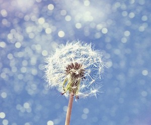 dandelion, blue, and bokeh image