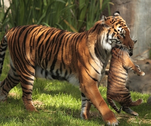 tiger and cute image