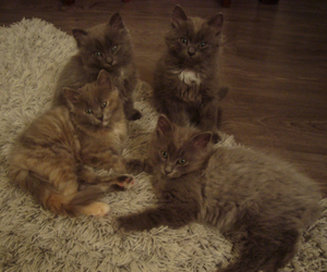 cats, cuties, and kittens image