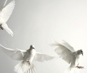 white, dove, and bird image