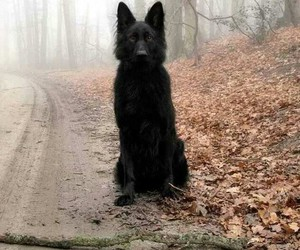 dog, black, and wolf image
