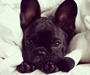 dog, cute, and black image