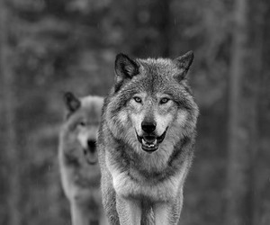 black&white and wolf image