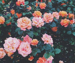 flowers, orange, and pink image