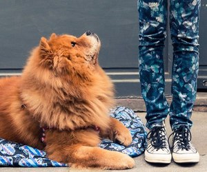 dog, chow chow, and cute image
