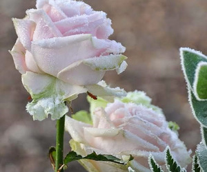 roses and snow image