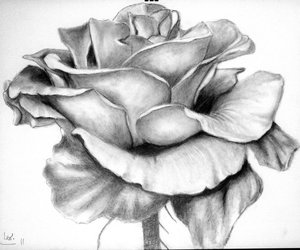 beautiful, rose, and sketch image