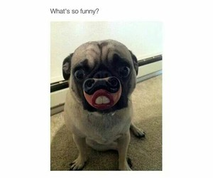 funny, dog, and pug image