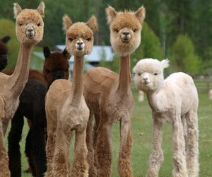 animal, funny, and alpaca image