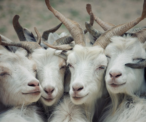 goat, animal, and nature image
