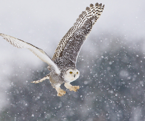 owl, Flying, and winter image
