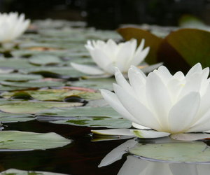 beauty, green, and lotus image