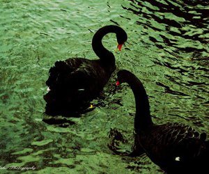 black swan, photo, and photography image